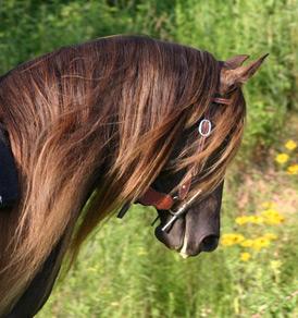 Gaitway Farm :: Top Quality Rocky Mountain Horses